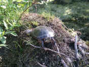 turtle on lump oof.jpg (130197 bytes)